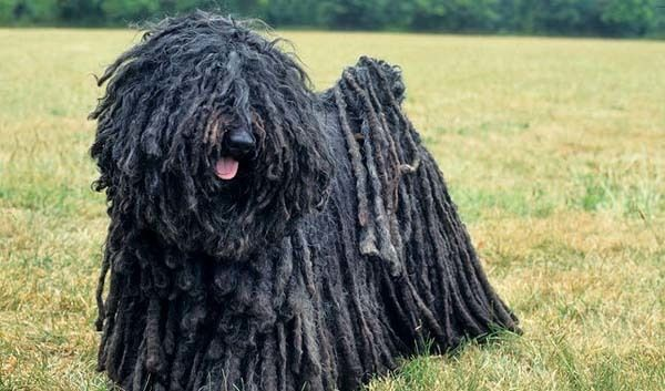 These 19 Unusual Dog Breeds And Markings Will Make You Fall In Love 12 Puli dog needs a haircut