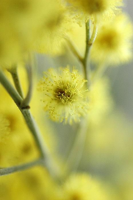 mimosa by alexedg - Pictures Of The Color Yellow