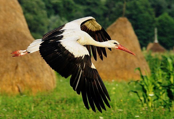 Danube Delta Romania Black Sea eastern Europe white stork