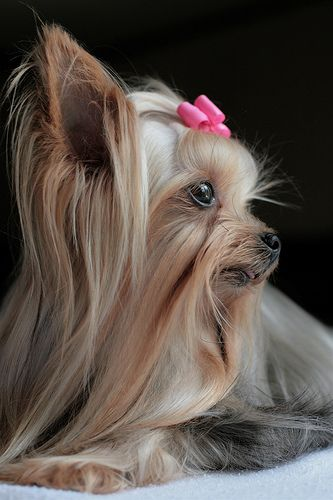 Yorkie Grooming. Here you will find a few tips on how to groom your Yorkie, especially those things that you should do yourself at home.