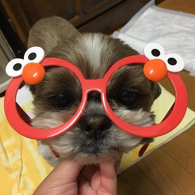 日高さんがつけてたエルモのメガネ買っちゃったー♡ぺっちゃんにもつけてみた。笑 * * * #エルモ #メガネ #ユニバーサルスタジオジャパン #ユニバーサル #ユニバーサルスタジオ #ユニバ #usj #愛犬 #わんこ #ぺっちゃん #犬 #シーズー #dog #shihtzu #aaa #だっちゃん #日高光啓