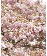 Akebono Yoshino Cherry (Prunus x yedoensis 'Akebono') - Monrovia - Akebono Yoshino Cherry (Prunus x yedoensis 'Akebono')