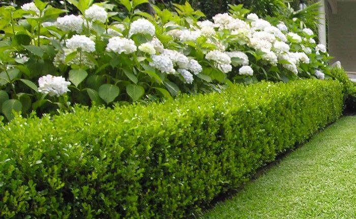 Hydrangeas and buxus hedge
