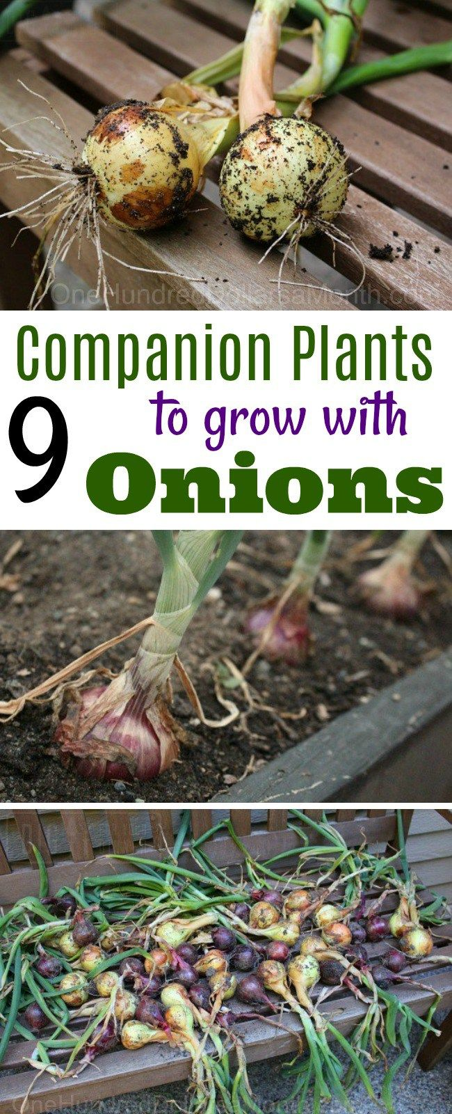 Interior designs medium size vertically growing onions growing onions - 7 Companion Plants To Grow With Onions