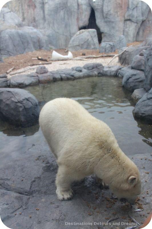 Polar Bear at Assiniboine Park Zoo Journey to Churchill exhibit in Winnipeg, Manitoba