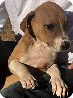 HAGGERSTOWN, MD - Fox Terrier (Toy)/Beagle Mix. Meet RUTHIE, a puppy for adoption. http://www.adoptapet.com/pet/17018160-haggerstown-maryland-fox-terrier-toy-mix