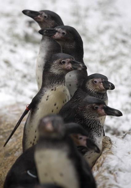South American Humboldt Penguins