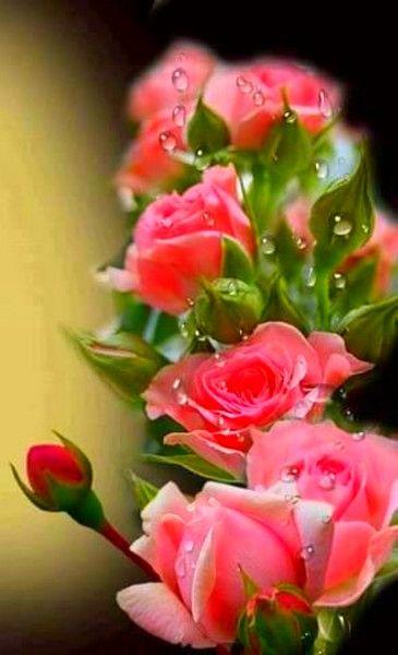 Překrásné růže.