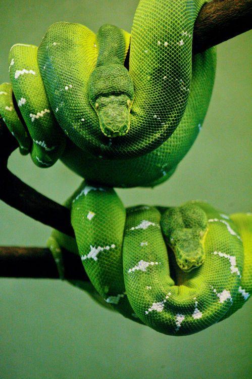 ♂ Wild life photography green snake Emerald Tree Boa | Flickr