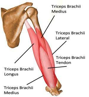 Triceps Brachii longus and lateralis | Muscles | Pinterest | Triceps ...