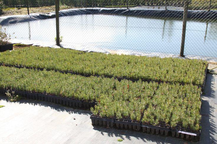 Cultivo de planta forestal en bandeja http://www.plantamus.es/venta-de-arboles-plantacion-plantones