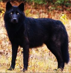 Melanistic Wolf--A hybrid of this and a German Shepherd would be BEYOND amazing.