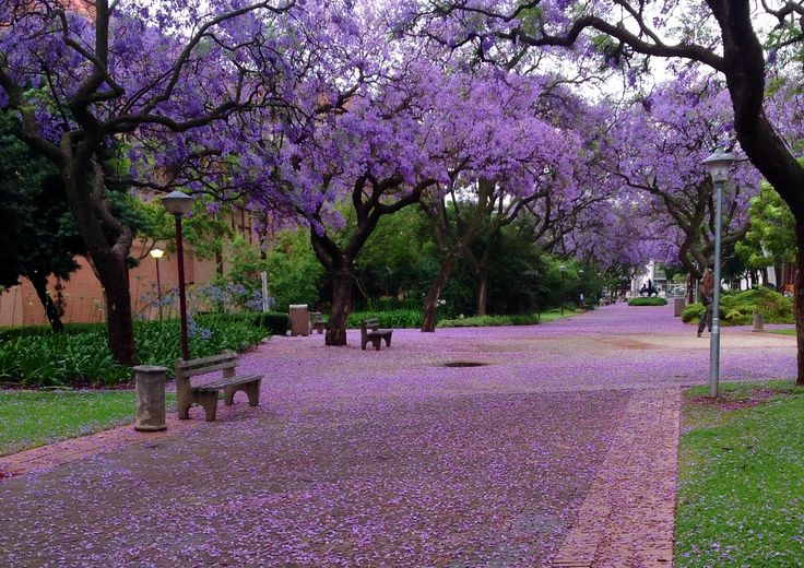 Purple rain. Photograph taken at the University of Pretoria campus.
