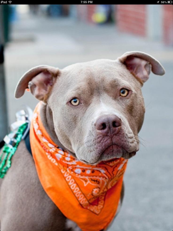 236 best Pitbulls images on Pinterest Pitt bulls Animal