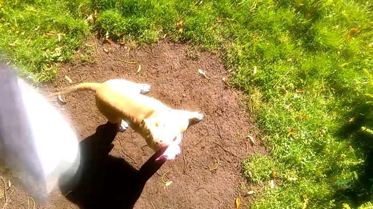 Pit Bull Grabbing A Tug