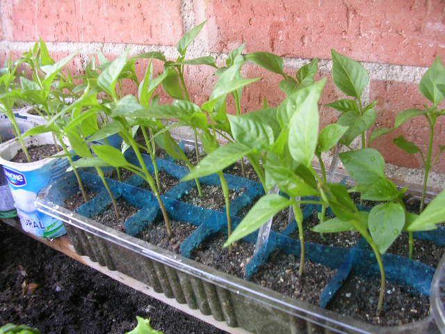10 plantas fáciles de cultivar en tu huerto urbano, tomates, lechugas, salvia, stevia, perejíl ¡Cónócelas todas en huertourbanoenmibalcon.es!