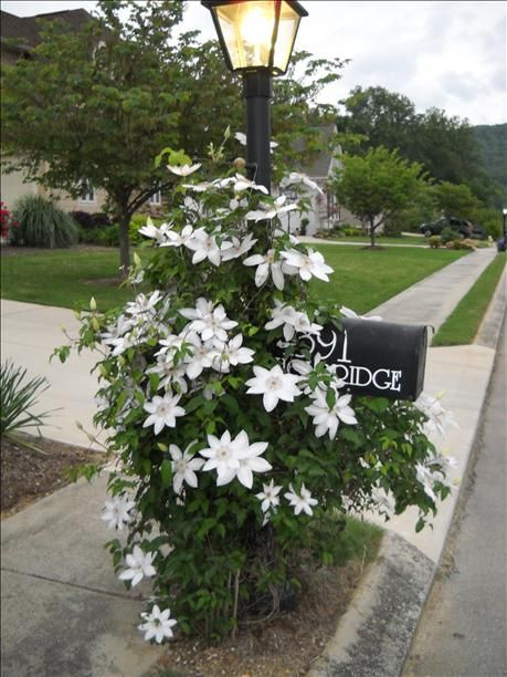 Clematis planted 2 years ago bloomed and covered mailbox. Blooms were beautiful!
