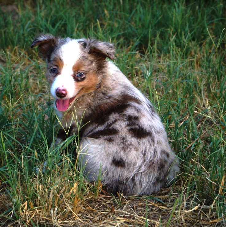 Rosie. beautiful red merle girl, will be small mini. Avaliable