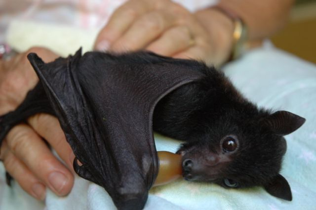 The spectacled flying fox (Pteropus conspicillatus), also known as the spectacled fruit bat, is a megabat that lives in Australia's north-eastern regions of Queensland.