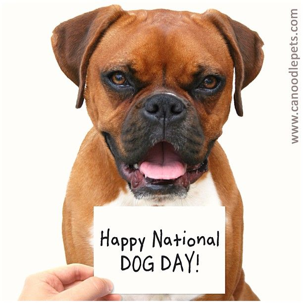 Happy National Dog Day from www.Canoodlepets.com ! Make sure to show your #dog a little extra #love today ❤.  #nationaldogday #cute #adorable #precious #pet #pets #ilovemydog #dogs #animal #animals #puppy #puppies #pup #cutie #life #doggy #petsofinstagram #boxerpuppy #boxer #dogday