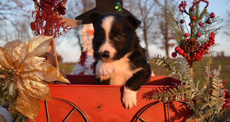 2J2K Border Collies puppies for sale. Border Collie puppies that are raised right for you!