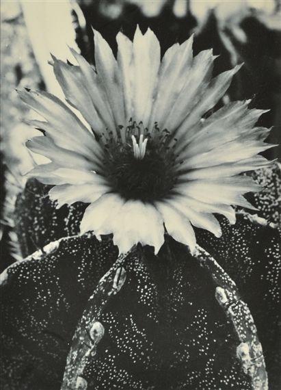 Astrophytum Myriostigma X Astrophytum Ornatum (Hybride Cactacea) - Albert Renger-Patzsch