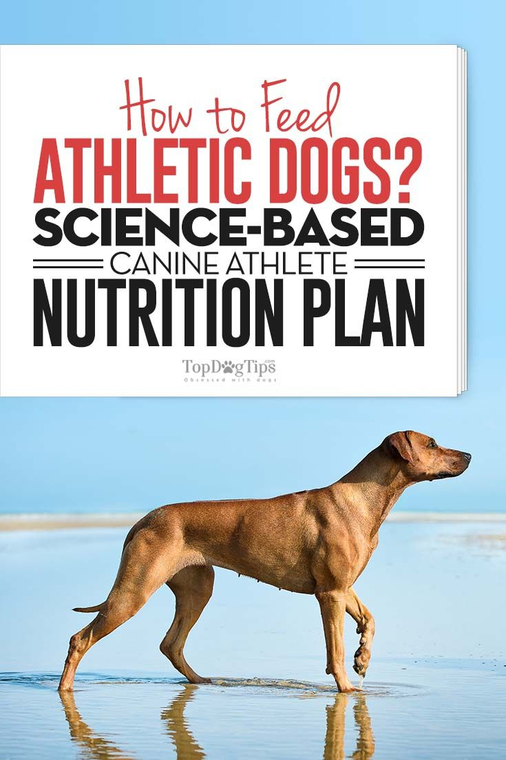 The Science Based Guide For Feeding Athletic Dogs Dog Nutrition