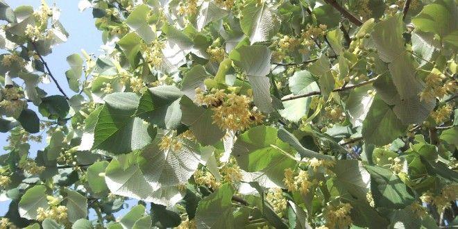 Ιδιότητες του δένδρου Φλαμουριά και το φλαμούρι ή Τίλιο
