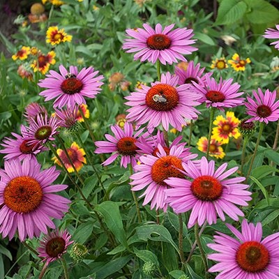 top 54 ideas about echinacea on pinterest sun flower. Black Bedroom Furniture Sets. Home Design Ideas