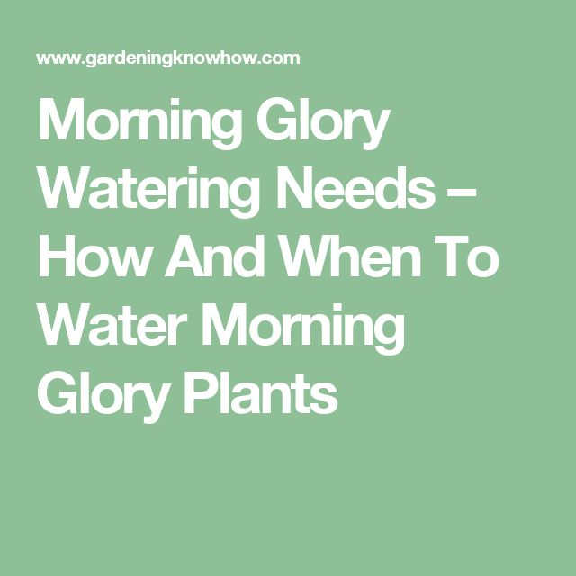 Morning Glory Watering Needs – How And When To Water Morning Glory Plants