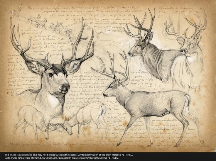 n°57-Mule deer