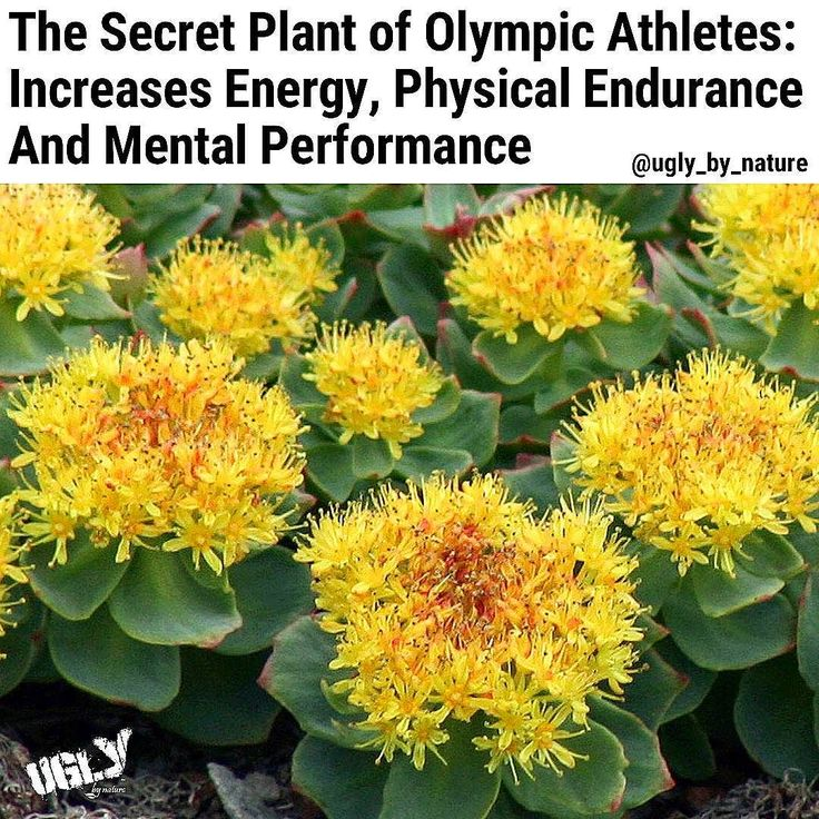 Rhodiola rosea is an amazing herb that has a wide and fluctuated history of employments. It is thought to reinforce the sensory system battle sorrow upgrade resistance lift the limit with regards to exercise improve memory help weight lessening increment sexual capacity and enhance vitality levels.  The Vikings relied on upon the herb to improve their physical quality and perseverance while Chinese sovereigns sent undertakings to Siberia to bring back the brilliant root for therapeutic…