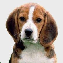 El Beagle   Perros.com