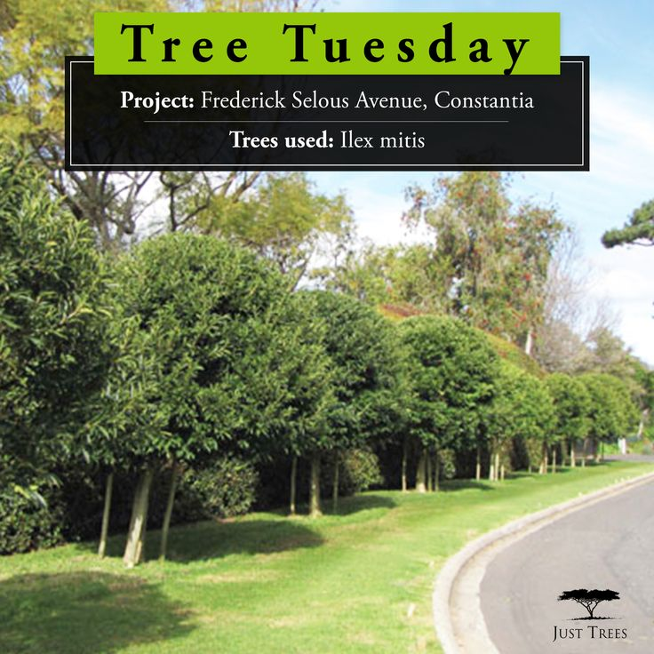 Do you live in the Constantia area? If you have ever driven along Frederick Selous Avenue you will have seen the 9 lovely Ilex mitis that we delivered to the area back in 2011. The trees were used as a striking feature to beautify the street. At 1000L in size at the time of planting, it is great to see how these trees have flourished over the last few years!