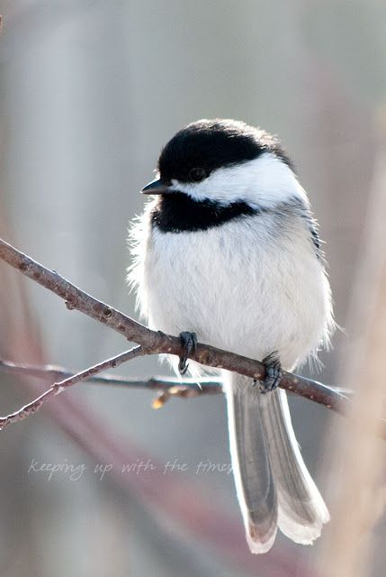 les 72 meilleures images du tableau oiseaux sur pinterest petits oiseaux beaux oiseaux et. Black Bedroom Furniture Sets. Home Design Ideas