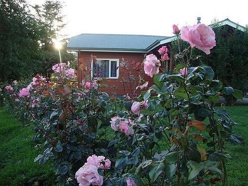 Rosas aromáticas