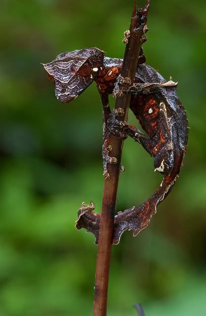 Satanic Leaf Tailed Gecko with Wings 2 | Adapting Imagery ...