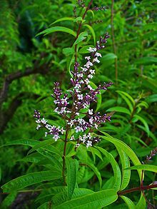 Aloysia citrodora - Lemon Verbena - reaches about 2.5m in height. Lemon-scented leaves. Grow near a path or gateway where the scent may be enjoyed. Grow in a well-drained light textured poor soil in a sheltered, sunny position. Strong well-mulched plants against a sheltered wall should survive some frost.