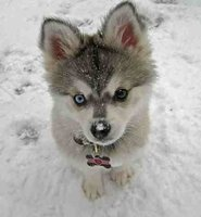 pomsky: Husky Puppys, Siberian Husky, Blue Eye, Adorable, Baby, Green Eye, Dogs Tags, Eyes, Animal