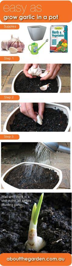 2. SMALL GARLIC PLANT. Easy as grow garlic in a pot #aboutthegarden.com.au     #edible #smallgardens Already doing it! :-)