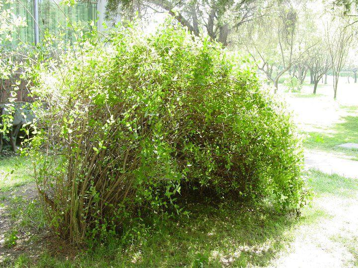 Colliguaja odorifera arbusto endemico de chile muy - Nombres de arbustos ...