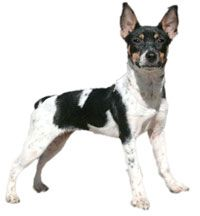 Rat Terrier: Cat, Rats Terriers, Rat Terriers