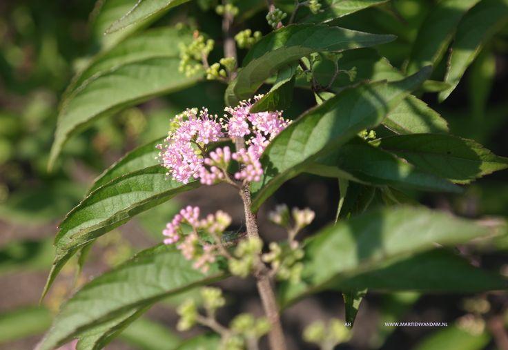 Callicarpa dichotoma (lila-roze)bloem struik tot 1.5 m. heeft vrij klein blad in de herfst prachtig van kleur, van geel naar paars. Niet te natte grond en iets zuur heeft de voorkeur.