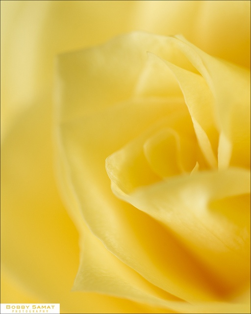 yellow rose-reminds me of my mom:)
