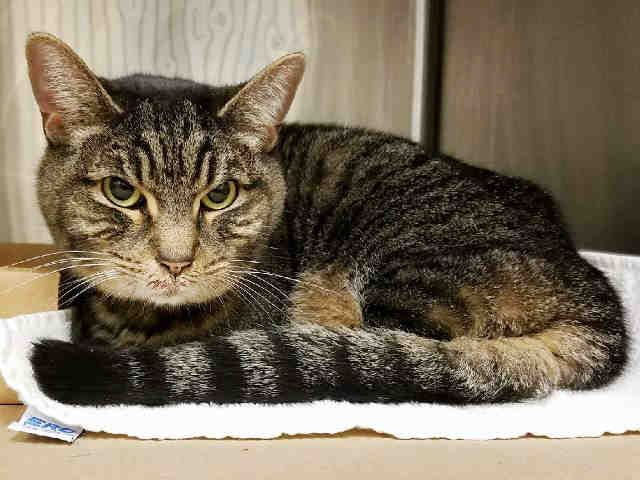 JADIS - A1105383 - - Manhattan  ***TO BE DESTROYED 03/10/17*** POOR JADIS WAS FOUND IN A TRAIN STATION BROUGHT TO SHELTER – JADIS MAY HAVE SOME LIVER ISSUES AND NEEDS A FULL MEDICAL EVAL TO HELP HER GET WELL – PLEASE FOSTER OR ADOPT BY NOON! -  Click for info & Current Status: http://nyccats.urgentpodr.org/jadis-a1105383/