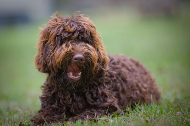 We breed medium and standard size Australian Labradoodles in all colors and health tested to the ALAA Gold Paw status.