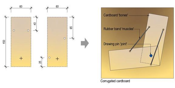 Make A Model Of The Arm With Cardboard And Rubber Bands