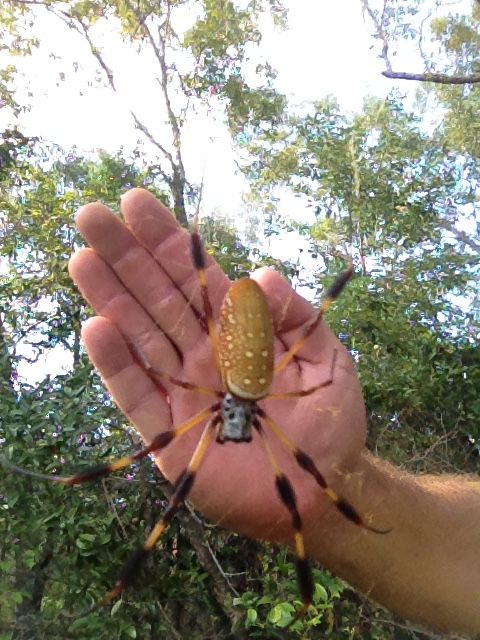 Banana Spider Neat Bugs Pinterest Spider Insects And Bugs
