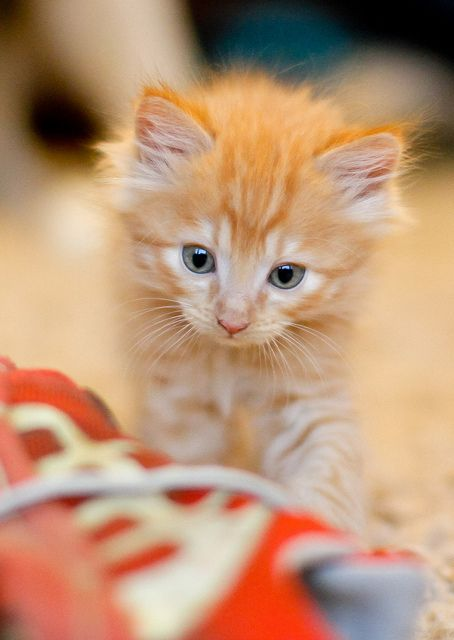 Ginger and White Kitten, orange gym shoe