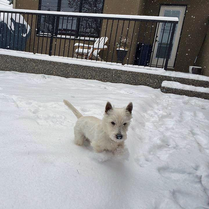 Maximus loves to play in the fresh snow